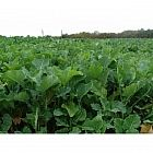 view Zoom Brassica Mixture 5kg details